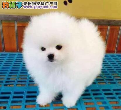 福州大型犬舍直销顶级优秀博美犬 可进行鉴定身体健康