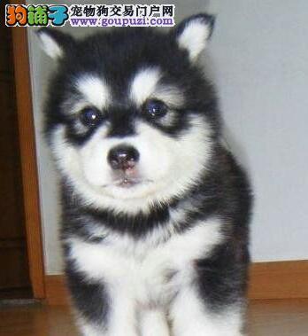 阿拉斯加犬宝宝热销中、保证品质一流、签订活体协议