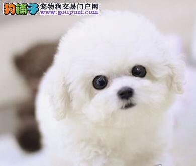 郑州知名犬舍出售多只赛级比熊国外引进假一赔百