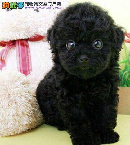 武汉本地犬舍出售精品泰迪犬 血统保纯身体保健康