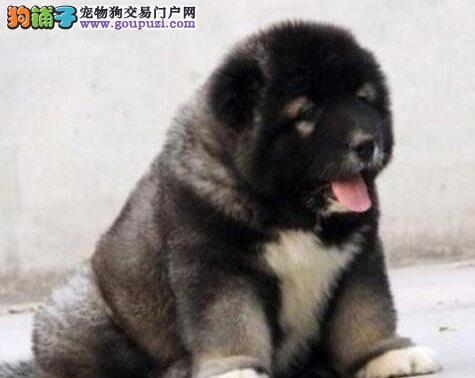 广州大型犬舍出售高加索犬 可视频看狗 证书芯片齐全