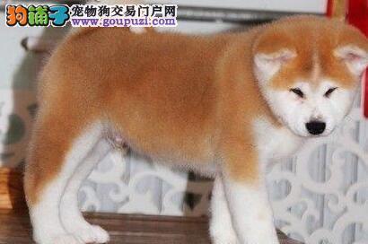 自家狗场直销出售优秀日系秋田犬 欢迎来宁波上门看狗