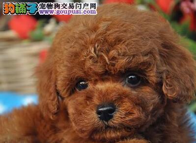 贵阳养殖基地出售深红色的泰迪犬 免费送货上门挑选