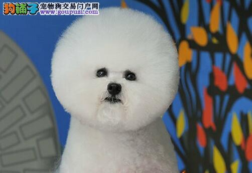 聪明漂亮的卷毛比熊犬宝宝 形好毛厚