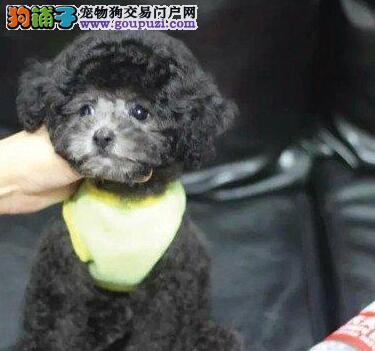济南专业的繁殖基地出售茶杯玩具血系的泰迪犬 签协议