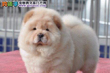 紫舌头的杭州松狮犬低价热卖中 欢迎大家莅临参观