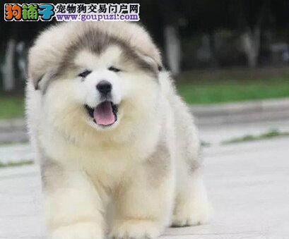 高端阿拉斯加犬幼犬,一宠一证视频挑选,三包终生协议