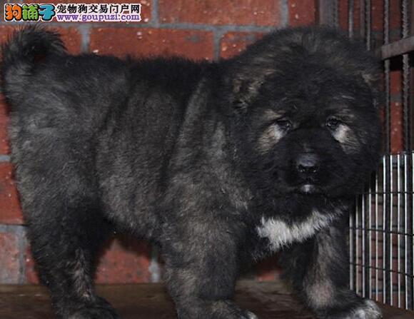 高加索幼崽出售中 专业繁殖宝宝健康 提供养狗指导