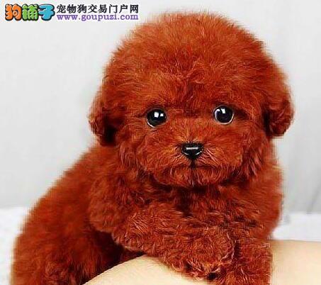 六种颜色齐全的北京泰迪犬找爸爸妈妈 可上门选购爱犬