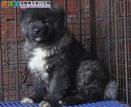 漳州正规狗场犬舍直销高加索幼犬提供护养指导