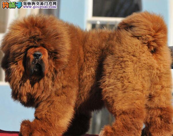 佛山大型犬舍出售纯血统藏獒幼崽 爱狗人士优先选购