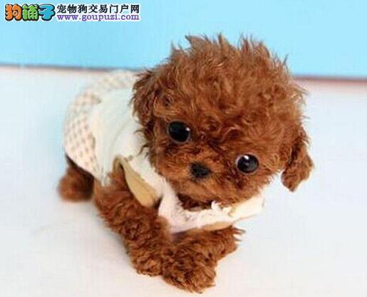 吉安繁殖基地出售多种颜色的泰迪犬专业品质一流