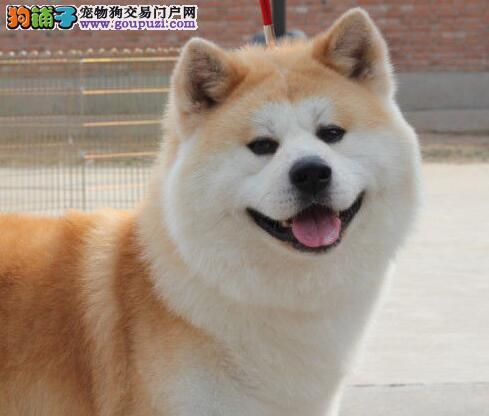 日系秋田犬超低价出售 洛阳的朋友可上门选购见狗父母