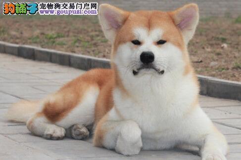 多种颜色的赛级秋田犬幼犬寻找主人上门可见父母