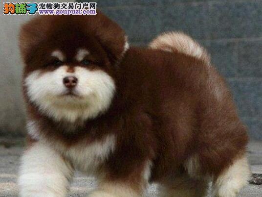 纯种阿拉斯加雪橇犬——精品阿拉斯加幼犬火热预定