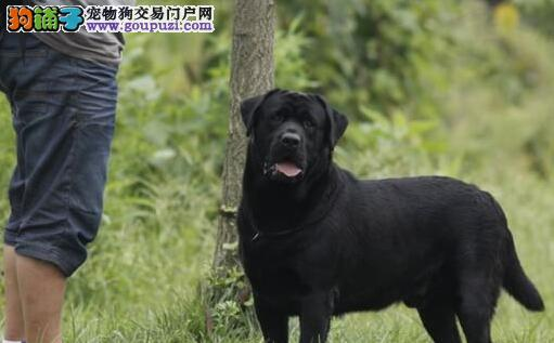 洛阳正规繁殖基地出售拉布拉多犬 售后有保证协议