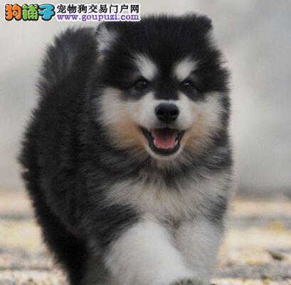 精品双十字阿拉斯加雪橇犬深圳犬舍直销 可当面看狗