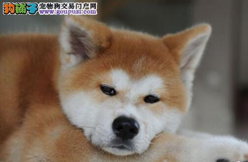 天津自家狗场繁殖直销秋田犬幼犬喜欢加微信可签署协议