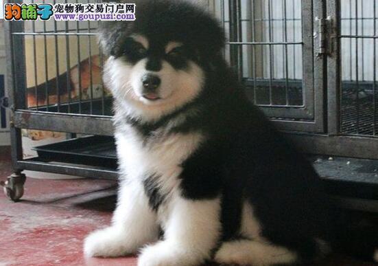 纯种阿拉斯加幼犬,血统纯正 带国际认证血统证书
