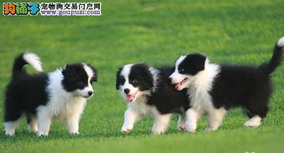 出售纯种厦门边境牧羊幼犬 品质保证 可上门挑选