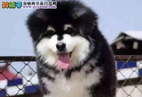 廊坊出售纯种阿拉斯加犬,体态完美,健康强壮,骨骼量足