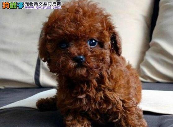 西城狗场出售赛级泰迪犬 保障完善的售后跟踪服务