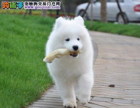出售精品厦门萨摩耶幼犬 公母均有 签署有效购犬合同