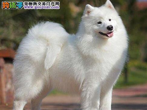 莆田出售萨摩耶幼犬品质好有保障签协议上门选