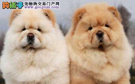 权威机构认证犬舍 专业培育松狮幼犬看父母照片喜欢加微信