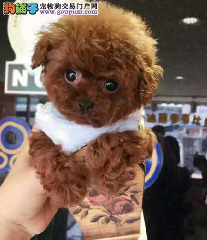 家养泰迪犬出售 保证血统纯度 喜欢加微信