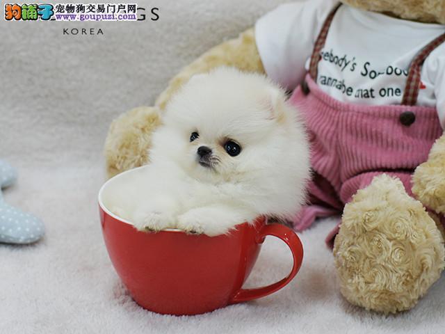 哈多利球体博美犬 小巧可爱博美 质量三保 纯种健康