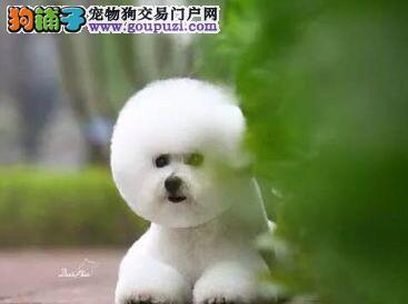 洛阳狗场繁殖出售棉花糖版比熊犬 疫苗驱虫均已做好