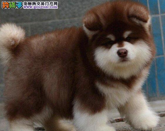 纯血统阿拉斯加犬幼犬、品质第一价位最低、质保全国送货
