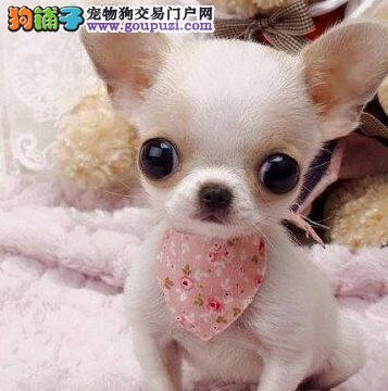 南昌正规实体店促销超小体吉娃娃大眼睛苹果头
