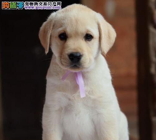 曲靖出售极品拉布拉多幼犬完美品相送用品送狗粮