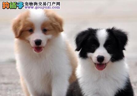 衢州自家繁殖的纯种边境牧羊犬找主人价格美丽非诚勿扰