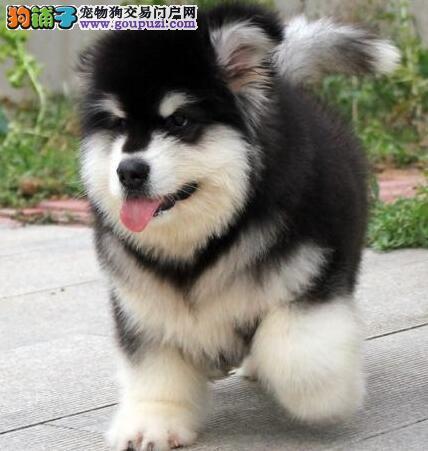 深圳实体狗场出售实物拍摄的阿拉斯加犬 狗贩子请绕行