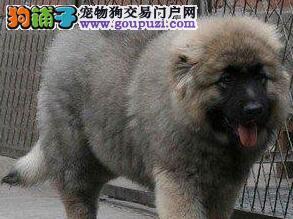 可作为看家护院的南宁高加索犬找新家 值得您拥有