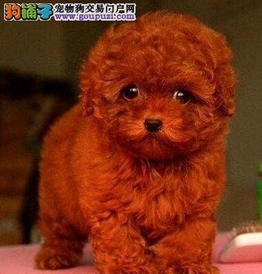 抚州出售泰迪犬公母都有品质一流诚信信誉为本