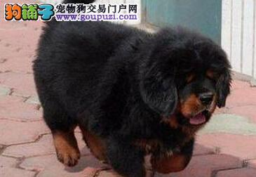 CKU认证犬舍 专业出售极品 藏獒幼犬优惠出售中狗贩子勿扰