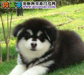 红血极品阿拉斯加幼犬出售