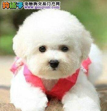 郑州出售比熊幼犬品质好有保障国际血统证书