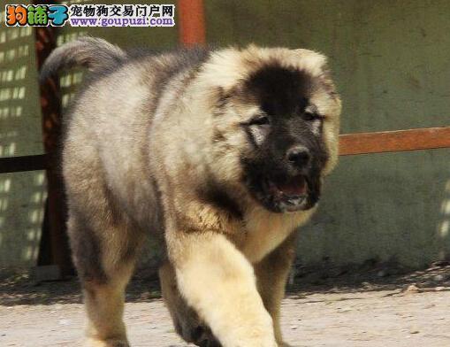 凶猛霸气的高加索幼犬,正在热销中,保证纯种健康