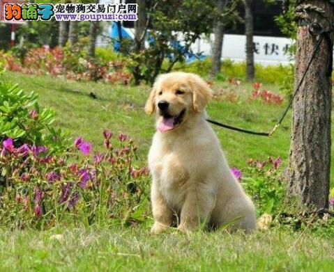 繁育基地直销高品质金毛犬广州市区可送货