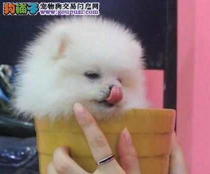 出售家养纯种哈多利白博美幼犬,活泼可爱,喜欢的看看