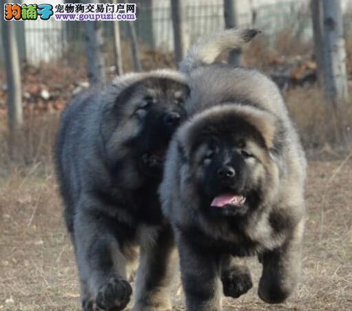 大连正规狗场热销熊版高加索犬 正品俄系购买有保证