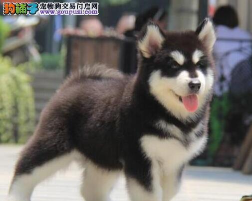 出售纯种健康的阿拉斯加犬幼犬终身售后送货