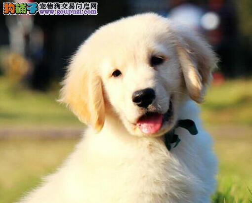 广州纯种精品金毛赛级美系血统可爱活泼导盲犬金毛宝宝