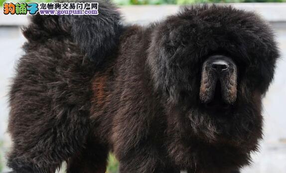 藏獒幼犬出售,喜欢的进来看看