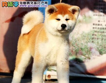 出售正宗血统优秀的秋田犬品质保障可全国送货
